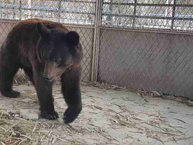 Bear trapped in derelict Aleppo, Syria zoo
