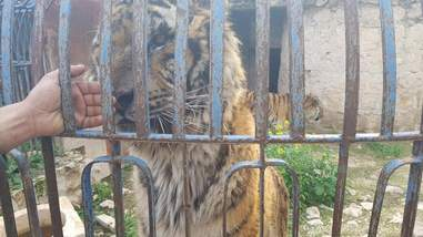 Man reaches out to touch starving tiger in Aleppo zoo