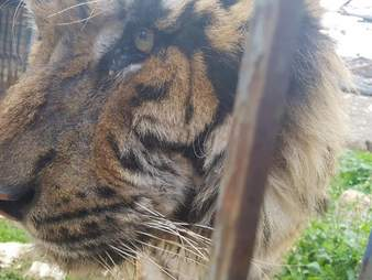 Tiger in destroyed Aleppo, Syria, zoo