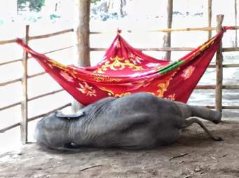 Starving baby elephant orphan at a camp in Myanmar