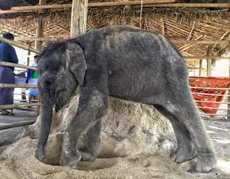 Baby elephant orphan at a camp in Myanmar