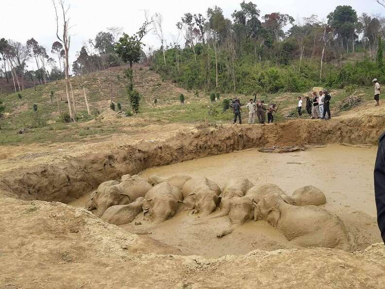 Elephant herd stuck in bomb crater in Cambodia