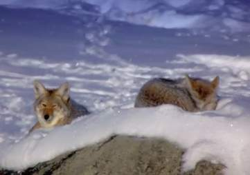 Two coyotes in the snow