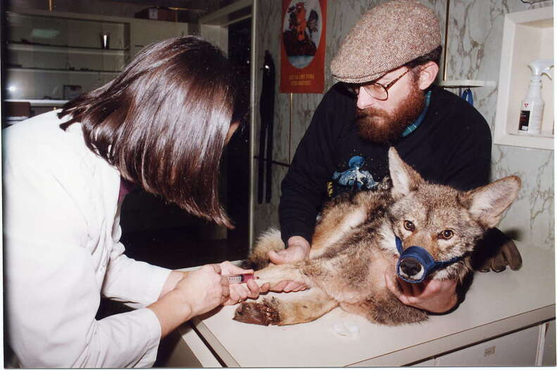 Coyote caught in trap had to be euthanized