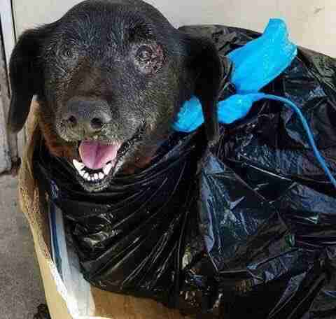 Senior dog surrendered at shelter in plastic garbage bag