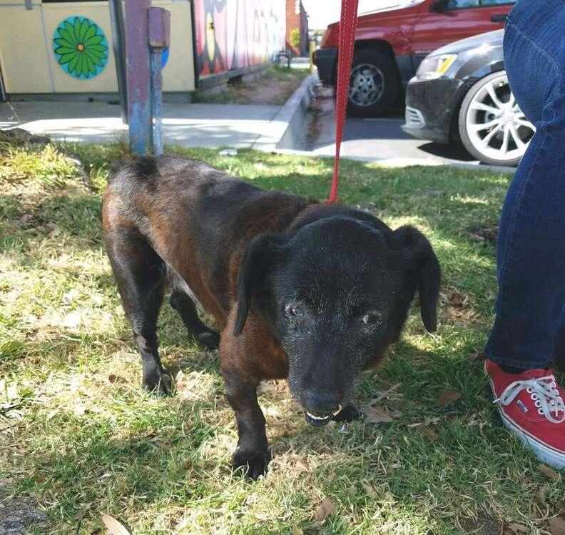 Senior rescue dog on a leash