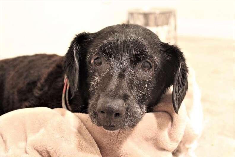 Senior rescue dog after a bath