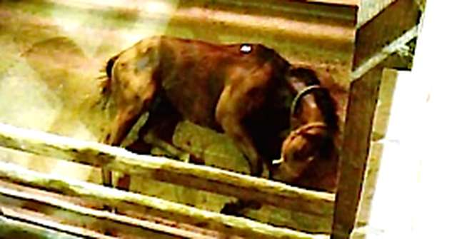 U S Horses Sent To Canada Slaughterhouses Suffer Abuses