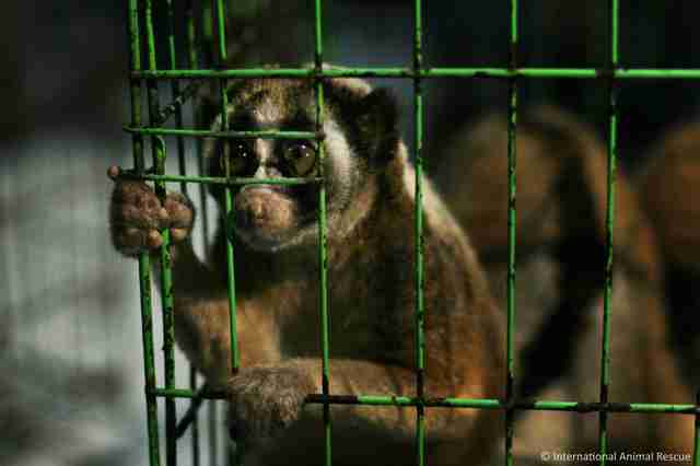 A slow loris being held captive in a tiny cage