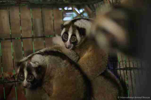 Slow lorises police rescued from an illegal pet trader