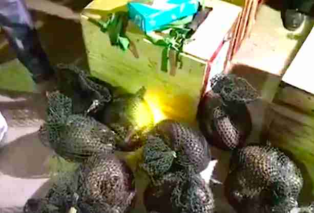 Pangolins in bags seized from traffickers in Vietnam