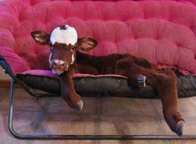 Rescued miniature cow relaxing on a couch