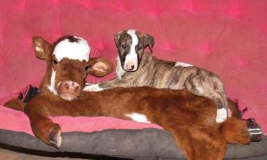 Rescued miniature cow becoming friends with a dog