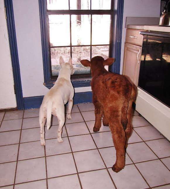 Rescue dog and miniature cow looking outside the window
