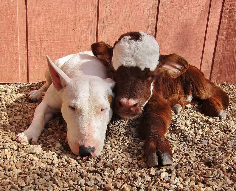 Spackle the dog and Moonpie the miniature cow are best friends