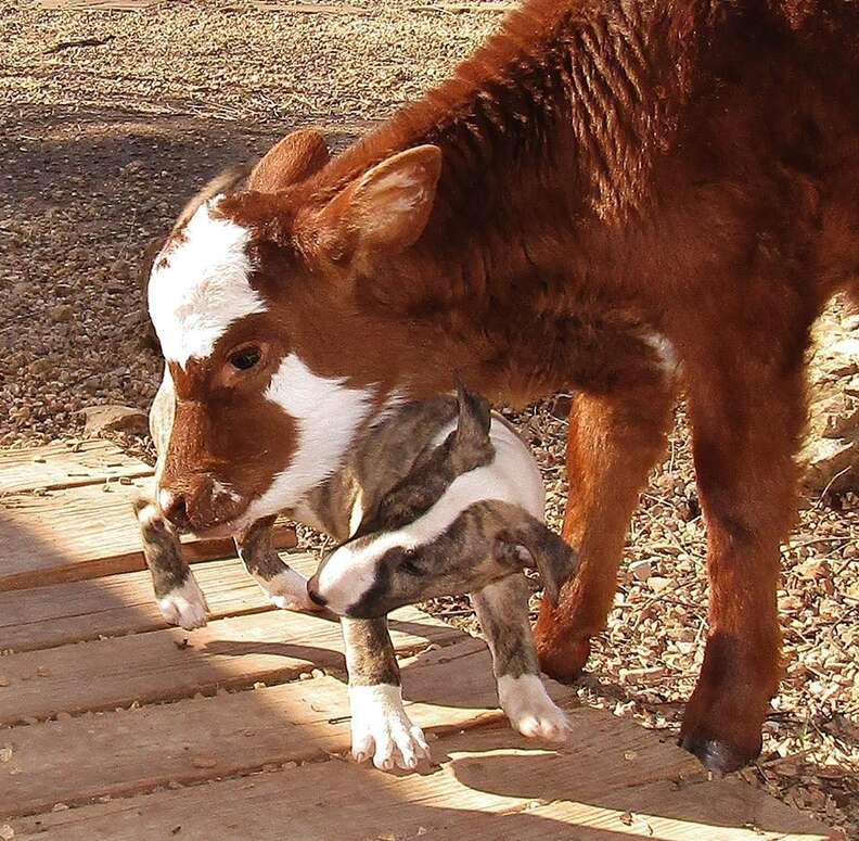 Dog and miniature cow playing