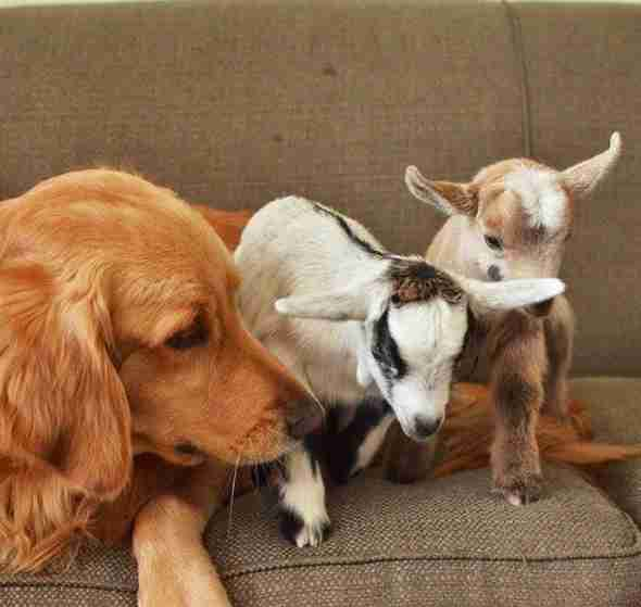 dog loves baby goats