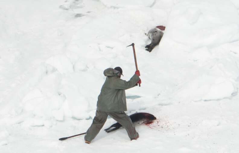 Canadian hunters killing harp seals