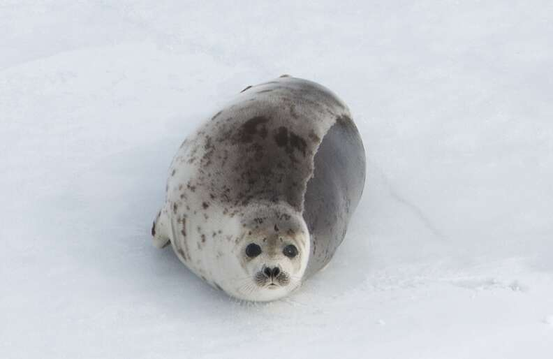 Harp seal on an ice floe in Canada