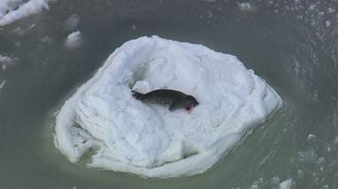 A dead baby harp seal after being killed by a hunter