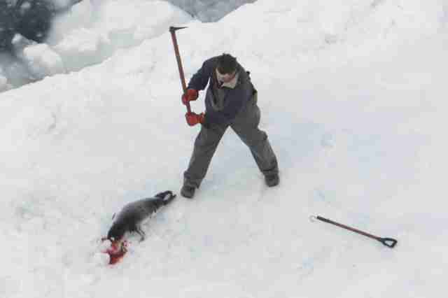 A sealer killing a baby harp seal