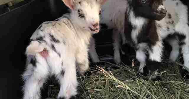 Baby goats lost their mom during childbirth on Kansas farm