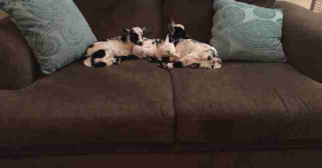 Orphaned baby goats sleeping on sofa