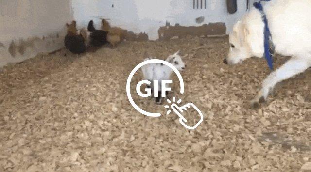 Orphaned goat meeting dog