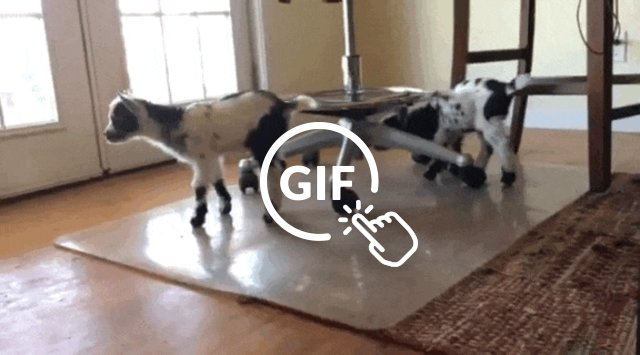Orphaned rescue goats exploring house