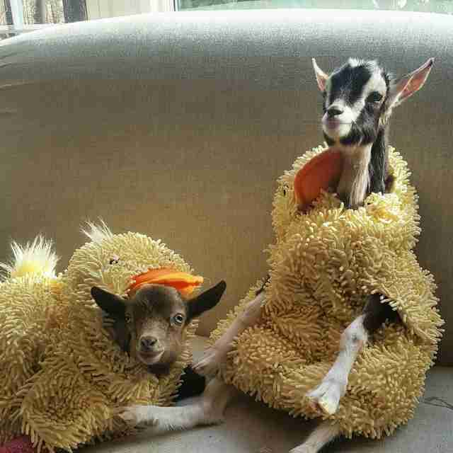 Little Boy Donates His Duck Costume To Rescued Goat With Anxiety - Rescue goat suffers anxiety calms duck costume
