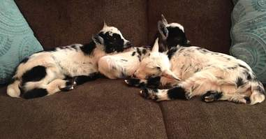 Snuggling baby goats on couch