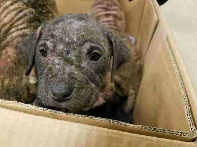 Rescue puppy with severe mange