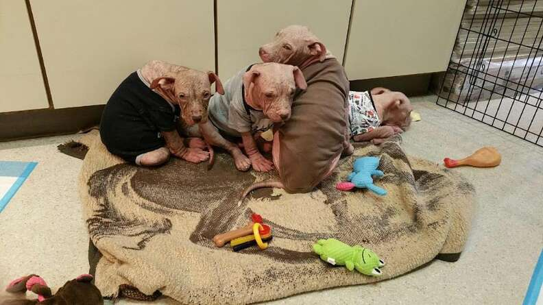 Rescue puppies with severe mange in baby onesies