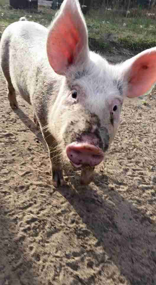 baby pig is so scared on way to slaughter she decides to save