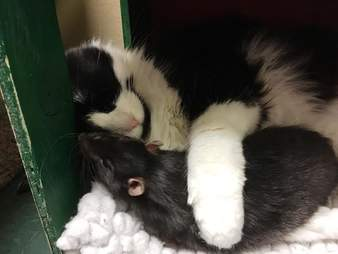 A cat snuggling with her best friend, who happens to be a rat