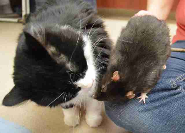 A cat and rat giving each other kisses