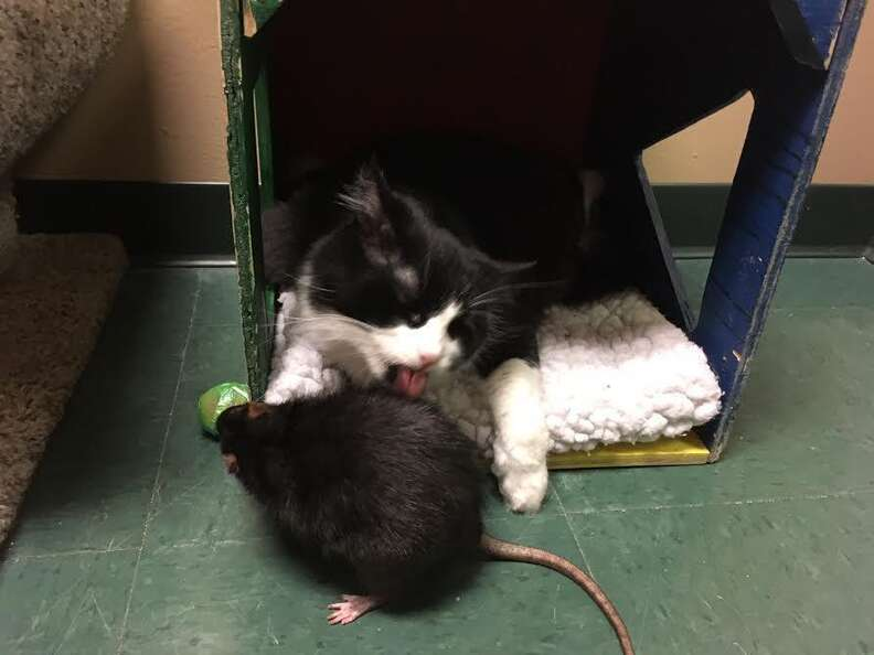 A cat licking the fur of her rat friend
