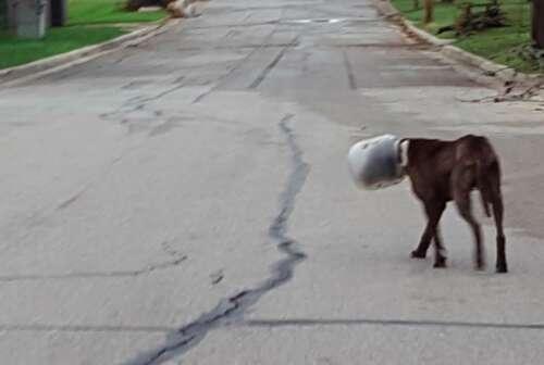 dog gets jar stuck in his head