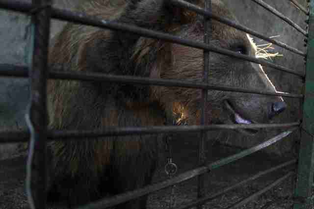 A bear in a cage at a restaurant in Albania