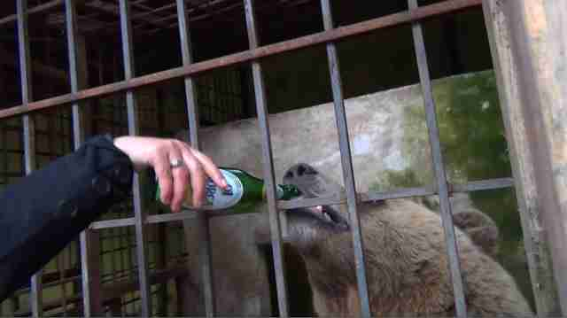 A bear being fed beer at a restaurant in Albania