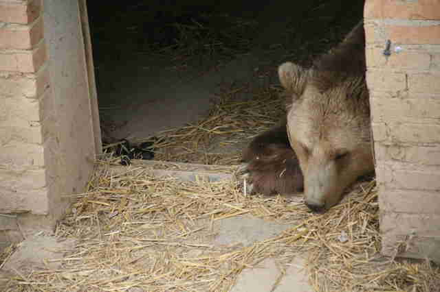 Former 'beer bear' at a bear sanctuary in Kosovo