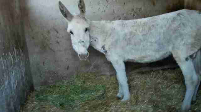 Neglected Spanish donkey after rescue
