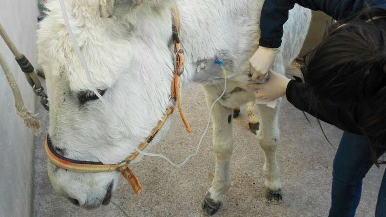 Neglected Spanish donkey getting treatment after rescue