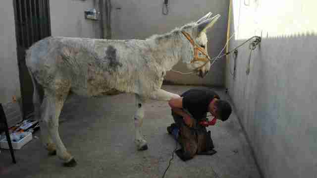Neglected Spanish donkey getting a hoof treatment after rescue