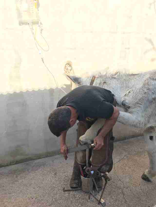 Neglected Spanish donkey getting a foot treatment after rescue