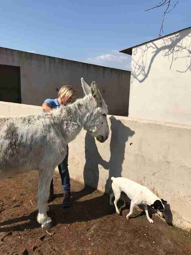 Neglected Spanish donkey after rescue with dog