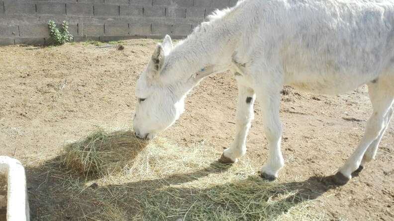 Neglected Spanish donkey eating hay in the sun after rescue
