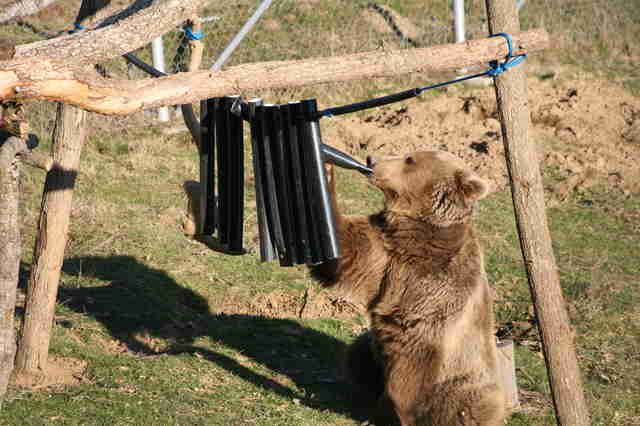Rescued bear enjoying an enrichment activity at a bear sanctuary in Kosovo