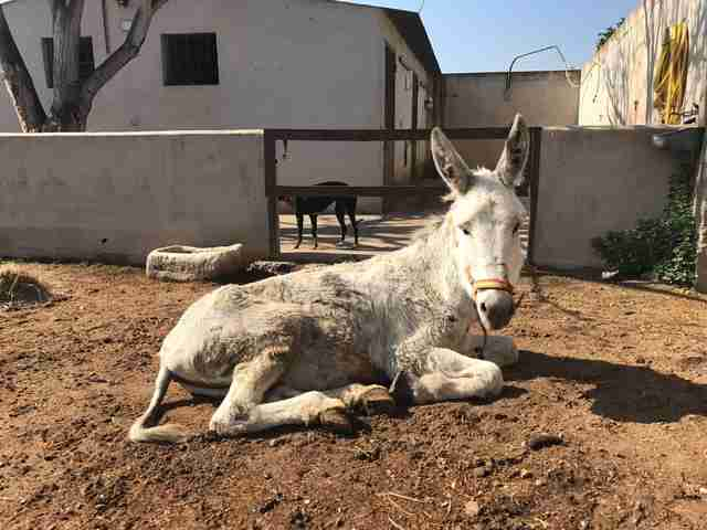 Neglected Spanish donkey after rescue relaxing in the sunlight