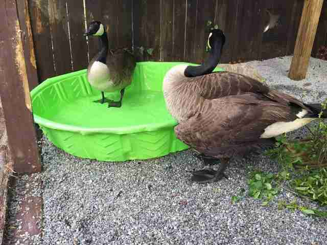 Rescued goose who lost her mate meeting a potential new mate